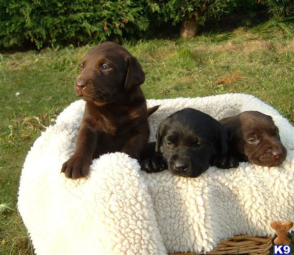 golden retriever puppies for sale in trinidad. 2011 Puppies for Sale golden