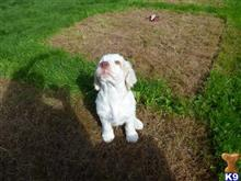 clumber spaniel puppy posted by landyman