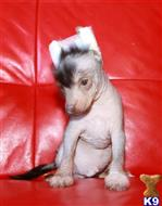 chinese crested puppy posted by lassa