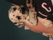 dalmatian puppy posted by Lauras2