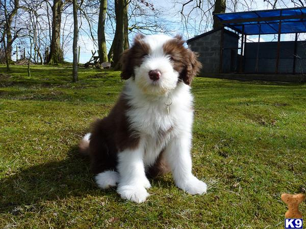 Bearded Collie puppies for sale. 25645