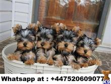 yorkshire terrier puppy posted by leenapepes
