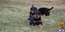 rottweiler puppy posted by leonardhunter448