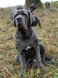 neapolitan mastiff puppy posted by liky_tg