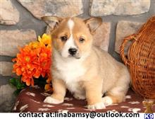 pembroke welsh corgi puppy posted by linabamsy