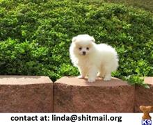 pomeranian puppy posted by lindaa