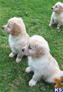 golden retriever puppy posted by lindaborlin