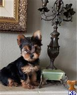 yorkshire terrier puppy posted by linshadinanery