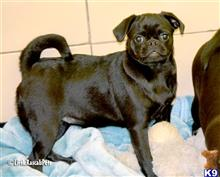 pug puppy posted by Little Rascals Pets