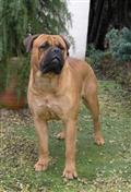 bullmastiff puppy posted by lizstick