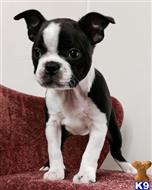 boston terrier puppy posted by llaiqtgn
