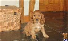cocker spaniel puppy posted by Llanybydderpup