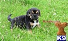 pug puppy posted by Llanybydderpup