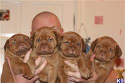 dogue de bordeaux puppy posted by Lomas6369