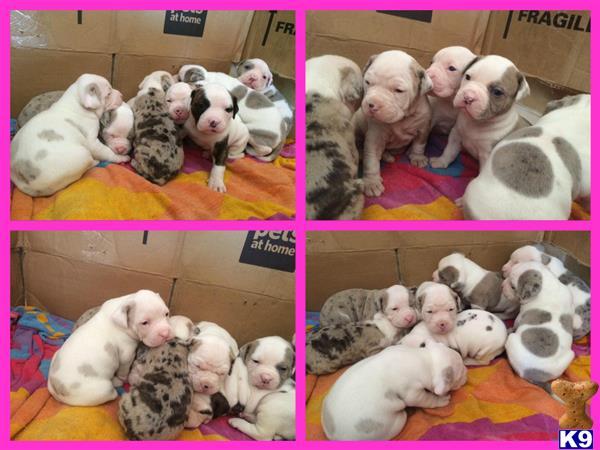londonbulldogs Picture 3
