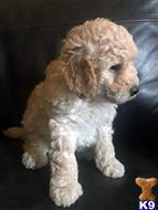 labradoodle puppy posted by londondoodles