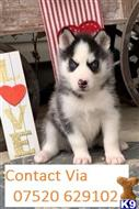 siberian husky puppy posted by lorbanks44