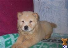 chow chow puppy posted by lorena4124