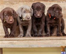 labrador retriever puppy posted by lornatysan1