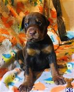doberman pinscher puppy posted by lotafo7739