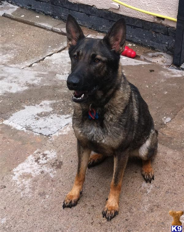 Ex Police Dogs For Sale