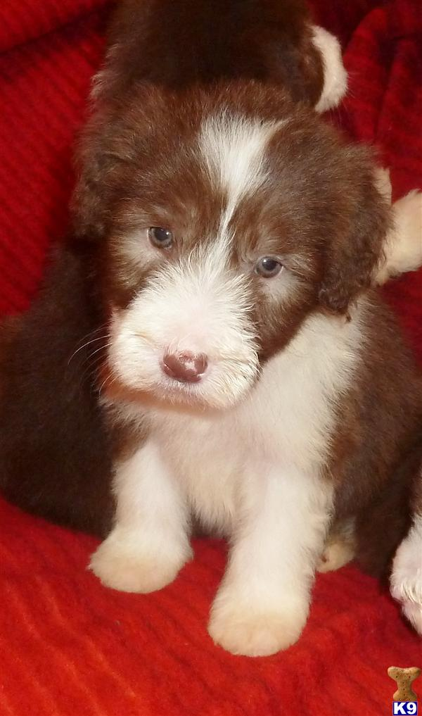 Bearded collie puppies ONlY one girl left 22984