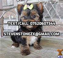 yorkshire terrier puppy posted by loversclubs2147