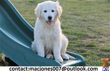 golden retriever puppy posted by macjones