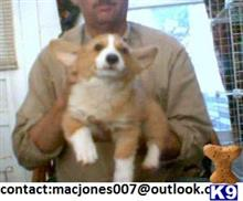 pembroke welsh corgi puppy posted by macjones001