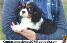 cavalier king charles spaniel puppy posted by macjones002