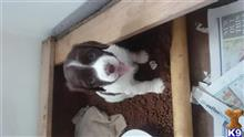 english springer spaniel puppy posted by malk000