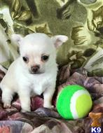 chihuahua puppy posted by Mandylaming00