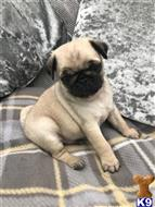 pug puppy posted by mane