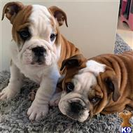 english bulldog puppy posted by maninbanks