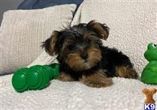 yorkshire terrier puppy posted by marciogbarbosa
