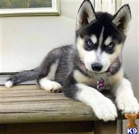 siberian husky puppy posted by mbongotolu