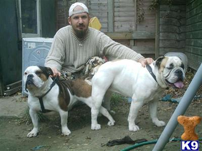 Medieval Bulldogs Picture 1