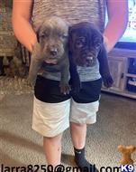 cane corso puppy posted by medob68963