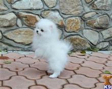 pomeranian puppy posted by menkaline8520