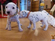 dalmatian puppy posted by metos87901