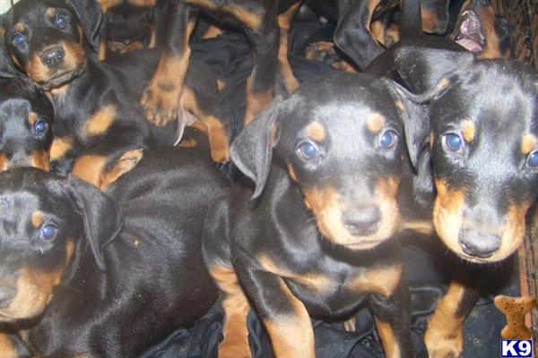 doberman puppies for sale. Doberman Puppies For Sale