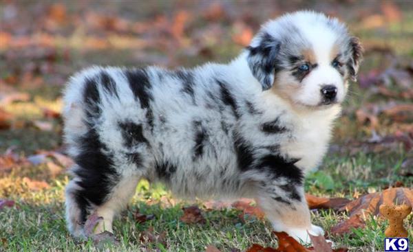 Australian Shepherd Puppies for Sale 51728