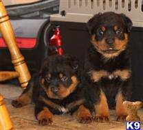 rottweiler puppy posted by mirandaspencer38