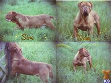 dogue de bordeaux puppy posted by misstwizell