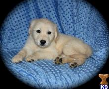 golden retriever puppy posted by mitchorel
