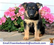 german shepherd puppy posted by mn88ypk