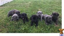 cane corso puppy posted by mobev19018