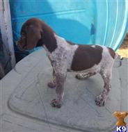 german shorthaired pointer puppy posted by mobib50320