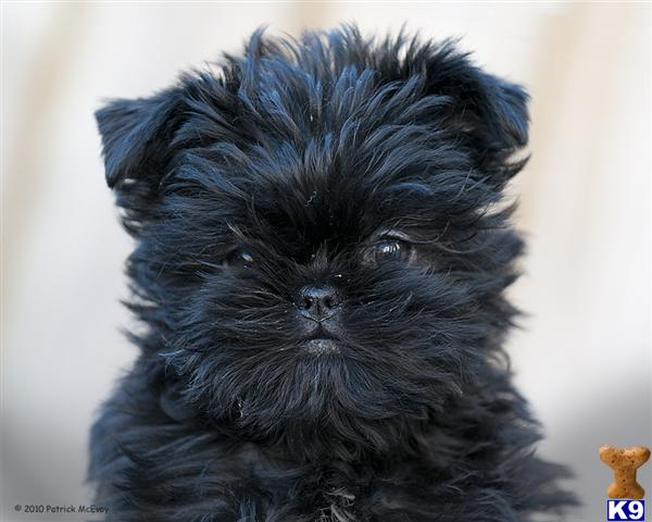 BATH, UNITED KINGDOM AffenpinscherPuppies for Sale