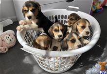 beagle puppy posted by moorenamey
